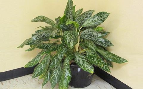 Aglaonema-commutatum8-plantes-d-interieurs-xopark
