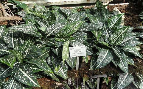 Aglaonema-costatum3plantes-d-interieurs-xopark