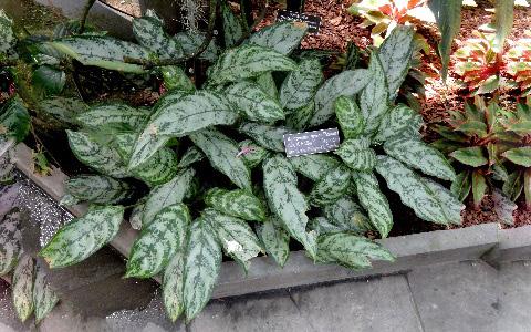 Aglaonema-marantifolium2plantes-d-intérieurs-xopark