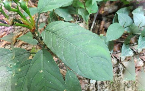 Aglaonema-nebulosum1plantes-d-intérieurs-xopark