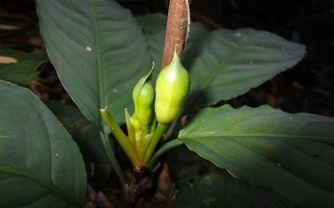 Aglaonema-nebulosum4plantes-d-intérieurs-xopark
