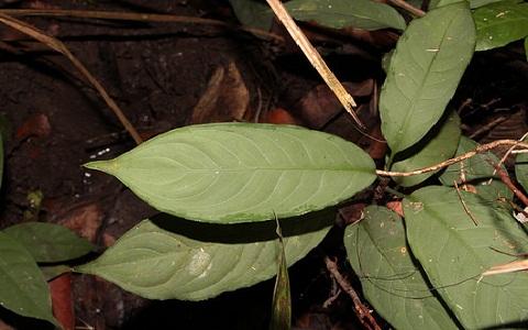 Aglaonema-nebulosum5plantes-d-intérieurs-xopark