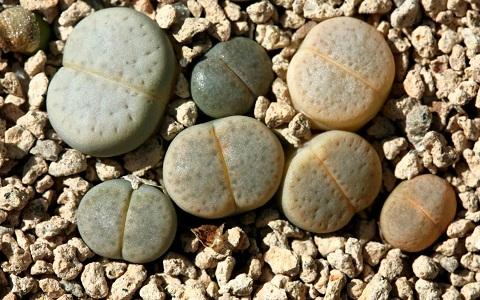 xopark10Lithops-vallis-mariae