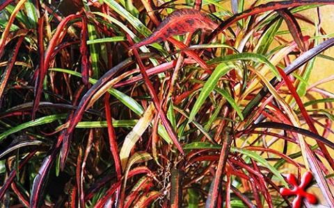xopark11Croton—Codiaeum-variegatum