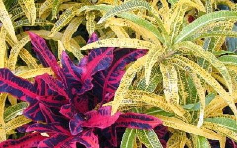 xopark13Croton—Codiaeum-variegatum