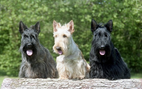xopark1Aberdeen-Terrier—Scottish-Terriers