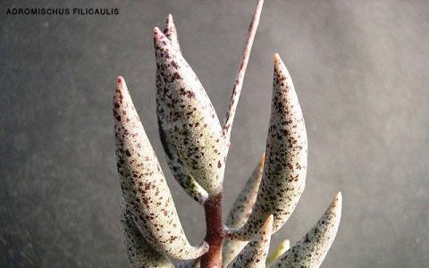 xopark1Adromischus-filicaulis copy