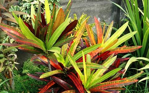 xopark1Croton—Codiaeum-variegatum