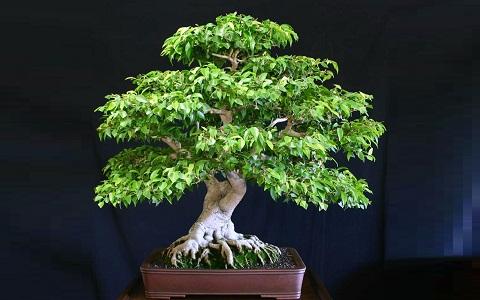 xopark1Ficus—Ficus-benjamina