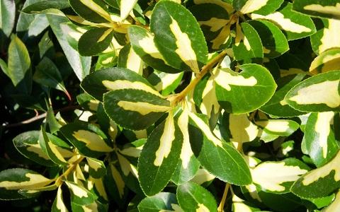 xopark1Fusain-du-Japon—Euonymus-japonicus