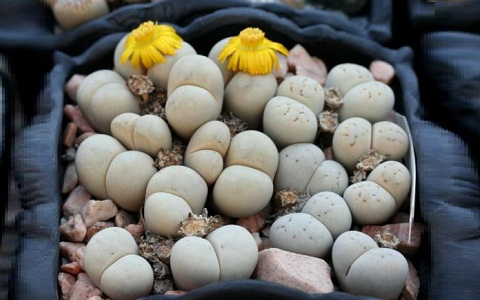 xopark1Lithops-ruschiorum