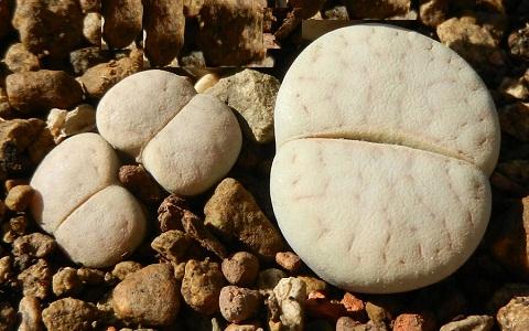xopark1Lithops-vallis-mariae