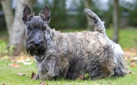 xopark2Aberdeen-Terrier—Scottish-Terriers