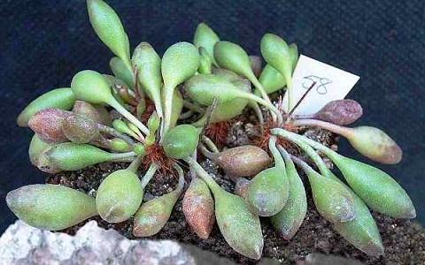 xopark2Adromischus-clavifolius