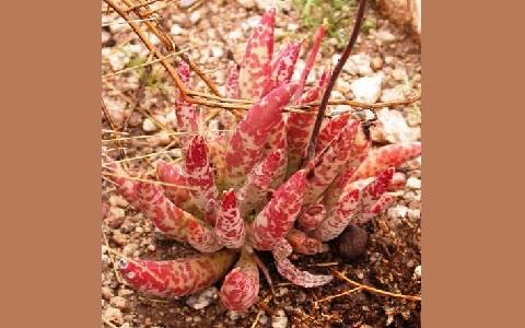 xopark2Adromischus-filicaulis