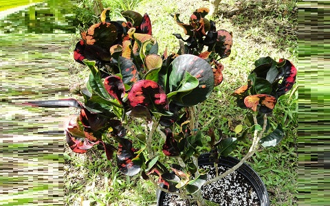 xopark2Croton—Codiaeum-variegatum