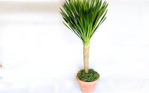 xopark2Dracaena-arborea