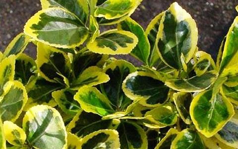 xopark2Fusain-du-Japon—Euonymus-japonicus