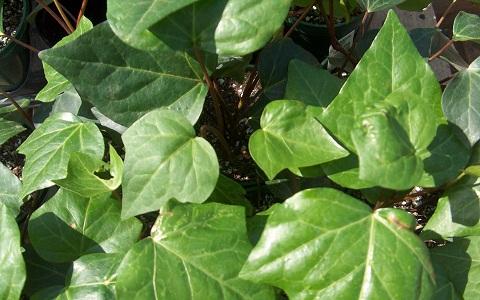 xopark2Lierre-des-Canaries—Hedera-canariensis