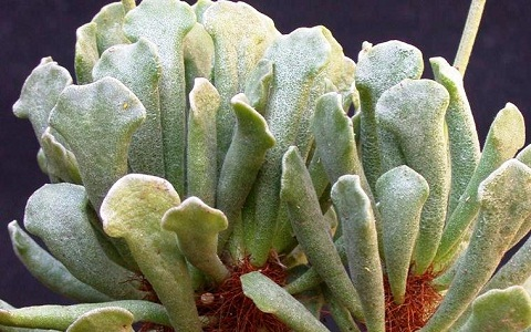 xopark3Adromischus-cristatus