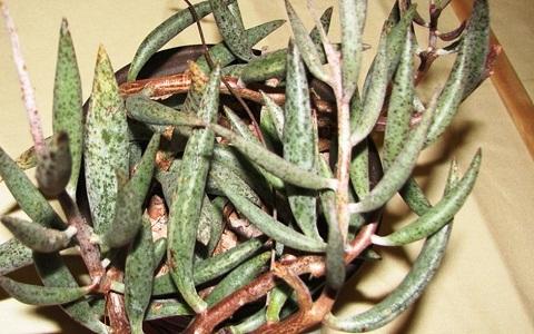 xopark3Adromischus-filicaulis