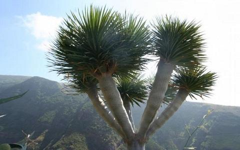 xopark3Dracaena-arborea