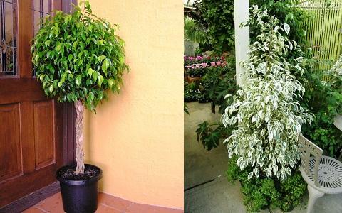 xopark3Ficus—Ficus-benjamina