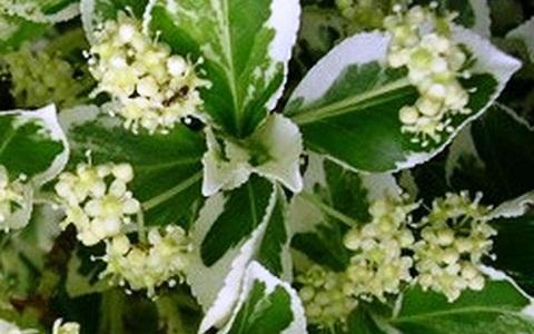 xopark3Fusain-du-Japon—Euonymus-japonicus