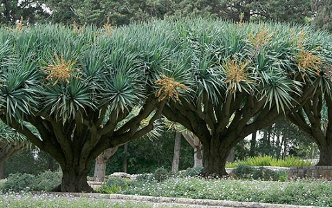xopark4Dracaena-draco—Canary-Islands-dragon-tree