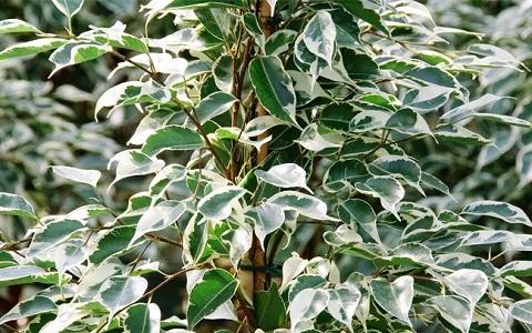 xopark4Ficus—Ficus-benjamina