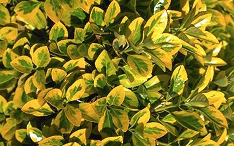 xopark4Fusain-du-Japon—Euonymus-japonicus