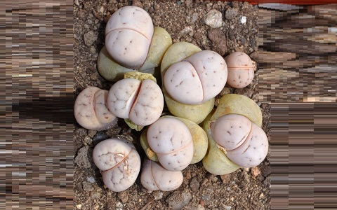 xopark4Lithops-ruschiorum