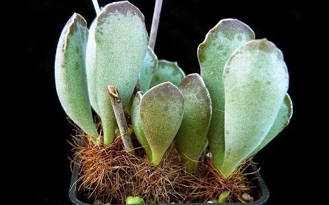 xopark5Adromischus-cristatus