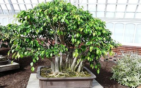 xopark5Ficus—Ficus-benjamina