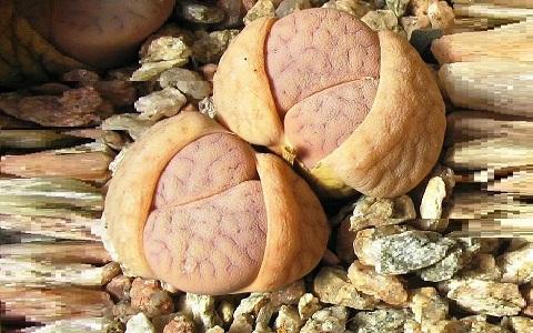 xopark5Lithops-vallis-mariae