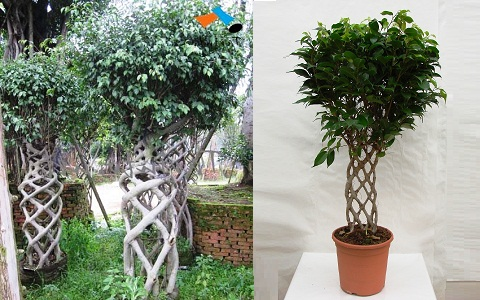 xopark6Ficus—Ficus-benjamina
