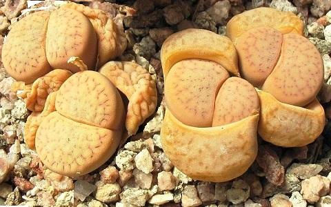 xopark6Lithops-vallis-mariae