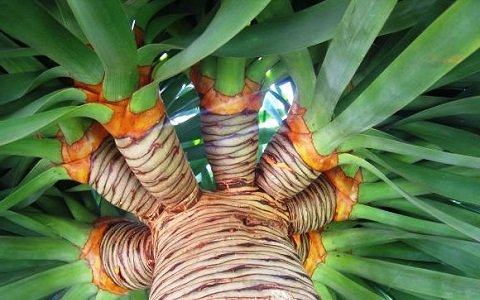 xopark7Dracaena-draco—Canary-Islands-dragon-tree