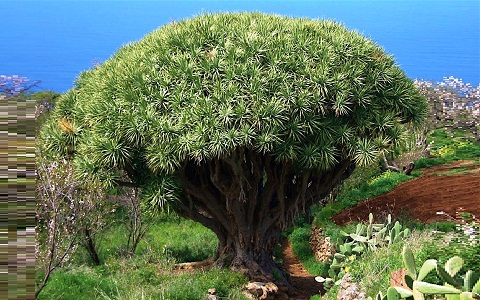 xopark8Dracaena-draco—Canary-Islands-dragon-tree