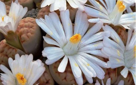 xopark8Lithops-vallis-mariae
