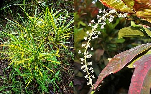 xopark9Croton—Codiaeum-variegatum