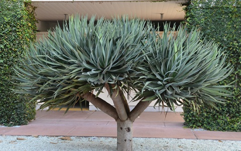 xopark9Dracaena-draco—Canary-Islands-dragon-tree