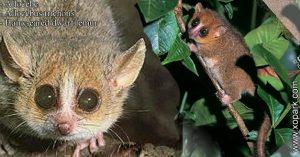 Allocèbe-  chirogale à oreilles velues - Allocebus trichotis - Hairy-eared mouse lemur xopark