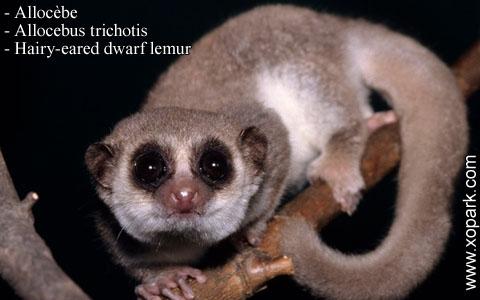 allocebe-chirogale-a-oreilles-velues-allocebus-trichotis-hairy-eared-mouse-lemur-xopark1