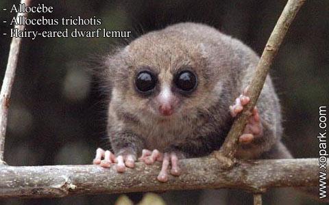 allocebe-chirogale-a-oreilles-velues-allocebus-trichotis-hairy-eared-mouse-lemur-xopark2