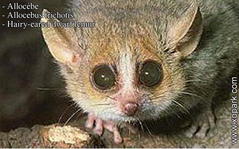 allocebe-chirogale-a-oreilles-velues-allocebus-trichotis-hairy-eared-mouse-lemur-xopark3