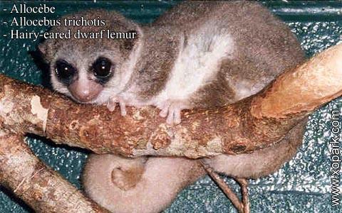 allocebe-chirogale-a-oreilles-velues-allocebus-trichotis-hairy-eared-mouse-lemur-xopark4