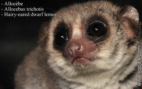 allocebe-chirogale-a-oreilles-velues-allocebus-trichotis-hairy-eared-mouse-lemur-xopark5
