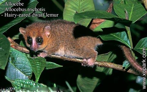 allocebe-chirogale-a-oreilles-velues-allocebus-trichotis-hairy-eared-mouse-lemur-xopark6