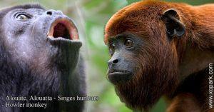 Alouate est un groupe d'espèces des Primates de la famille des Atélidés (Atelidae), ses descriptions, ses photos et ses vidéos sont ici à xopark.com